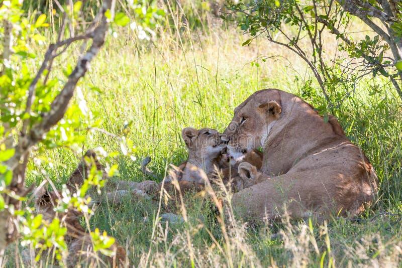 Filhote de leão nas planícies Kenya Mãe com seu bebê imagem de stock