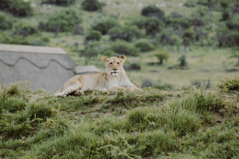 Filhote de leão no monte que coloca na terra e que olha a câmera imagens de stock