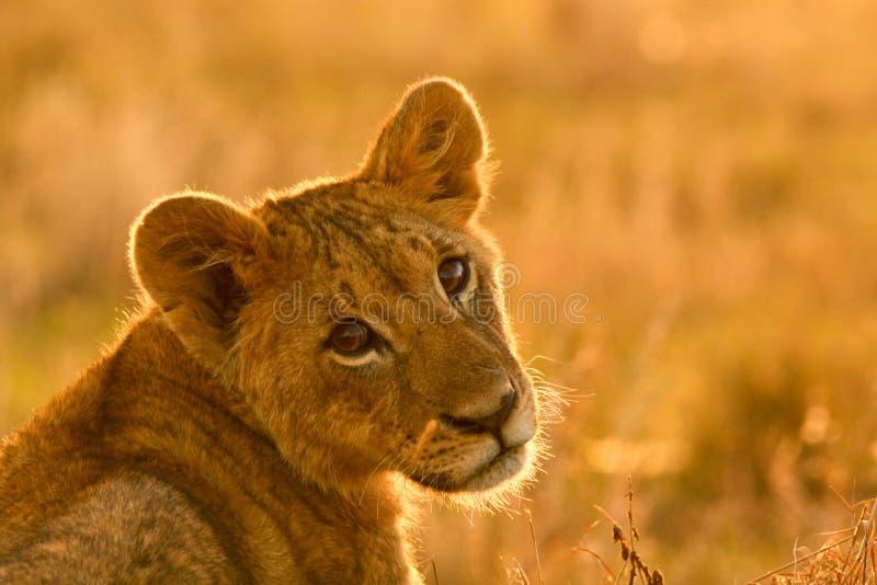 Filhote de leão no parque nacional de Nairobi, Kenya imagem de stock