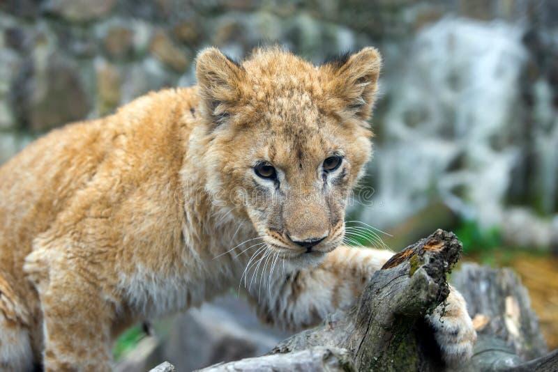 Filhote de leão novo no retrato selvagem fotografia de stock royalty free