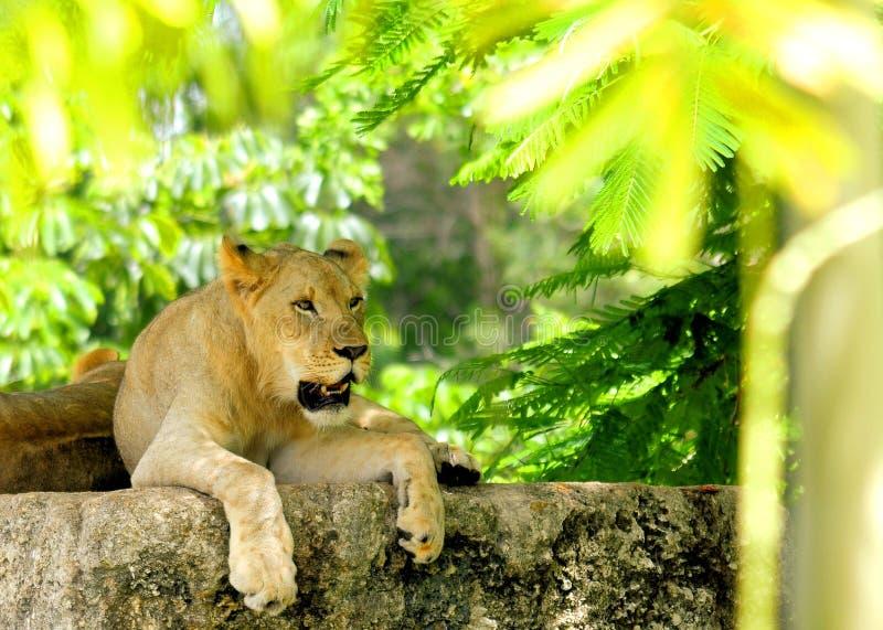 Filhote de leão novo que descansa na rocha fotos de stock royalty free