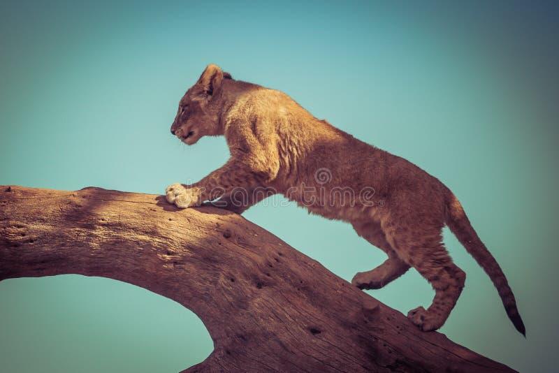Filhote de leão novo que escala em uma árvore fotos de stock