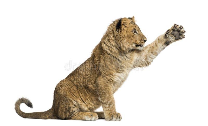 Filhote de leão que senta-se e que pawing acima foto de stock royalty free