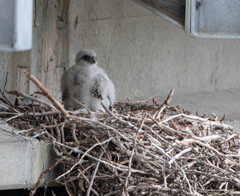 Filhote de passarinho do falcão de Gyr imagem de stock
