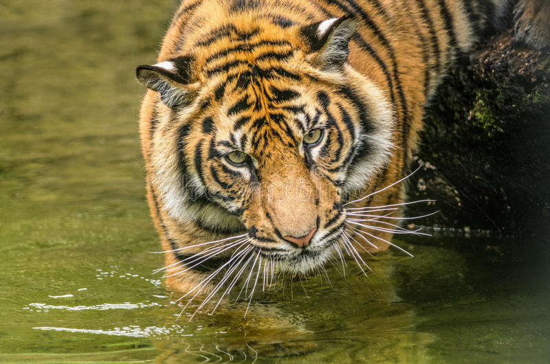 Filhote de tigre foto de stock royalty free