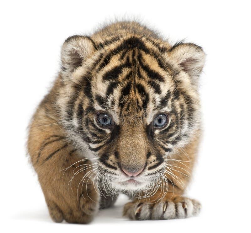 Filhote de tigre de Sumatran, sumatrae de tigris do Panthera fotografia de stock royalty free