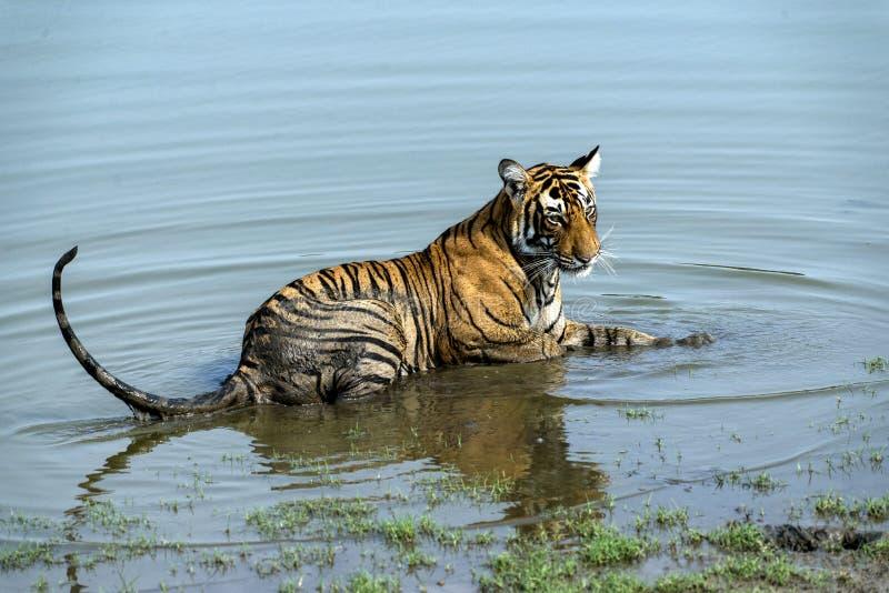 Filhote de tigre na água foto de stock royalty free