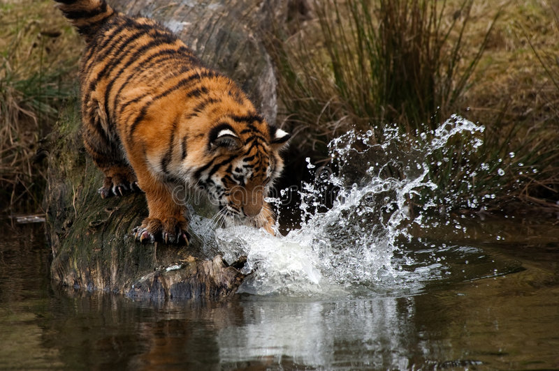 Filhote de tigre Siberian imagem de stock royalty free