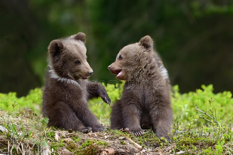 Filhote de urso de Brown
