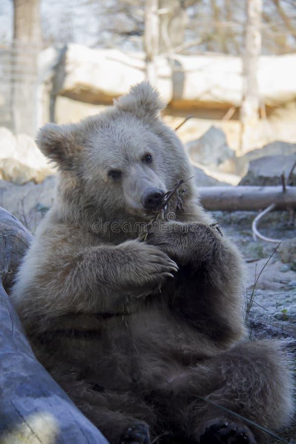 Filhote de urso marrom Himalaia de assento foto de stock royalty free