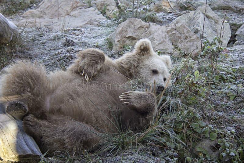 Filhote de urso marrom Himalaia de encontro imagens de stock