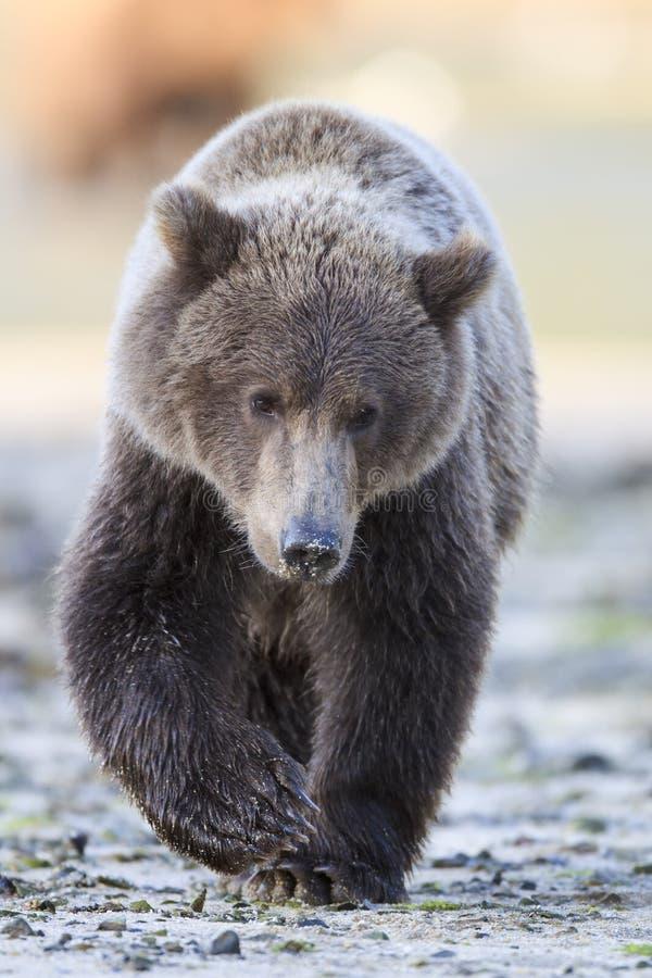 Filhote de urso marrom novo fotografia de stock