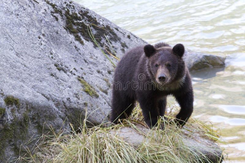 Filhote de urso pardo na rocha ao longo do rio de Chilkoot fotos de stock