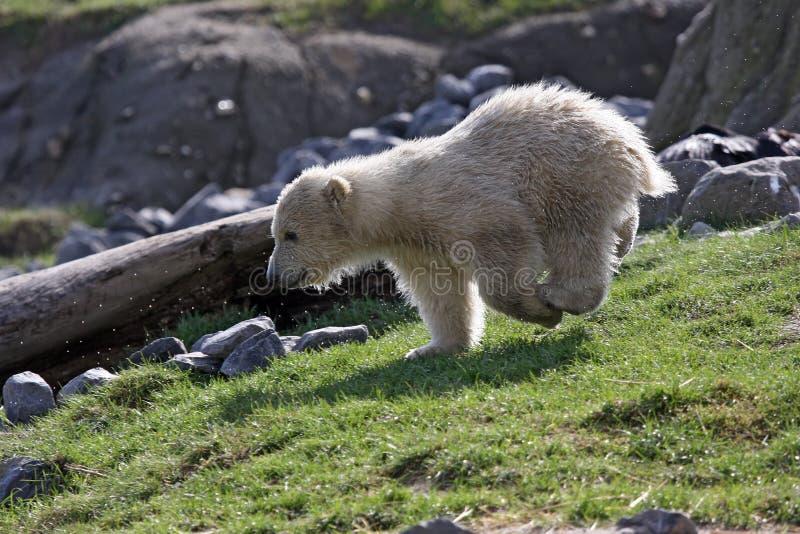 Filhote de urso polar foto de stock royalty free