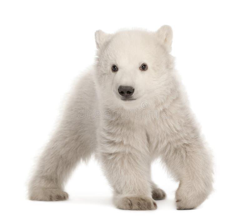 Filhote de urso polar, maritimus do Ursus, 3 meses velho fotografia de stock