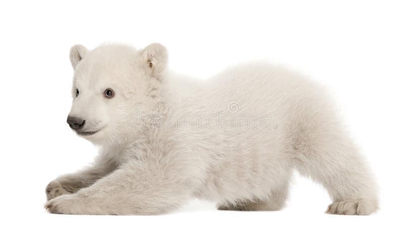Filhote de urso polar, maritimus do Ursus, 3 meses velho imagem de stock