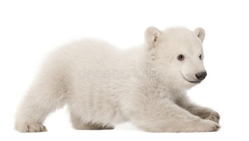Filhote de urso polar, maritimus do Ursus, 3 meses velho fotos de stock