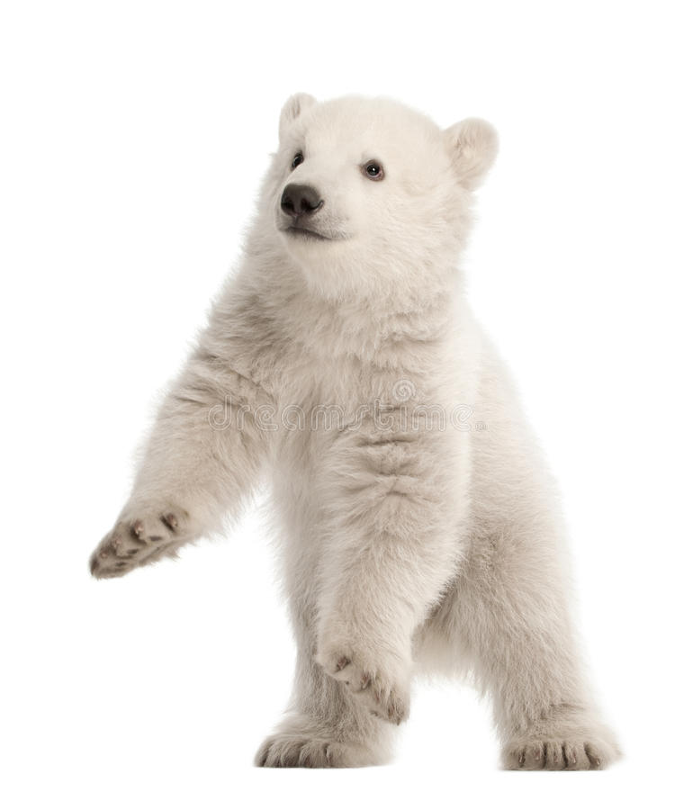 Filhote de urso polar, maritimus do Ursus, 3 meses velho fotografia de stock royalty free