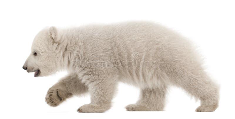 Filhote de urso polar, maritimus do Ursus, 3 meses velho foto de stock