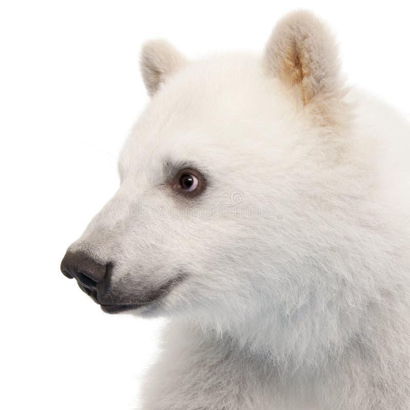 Filhote de urso polar, maritimus do Ursus, 6 meses velho fotos de stock royalty free