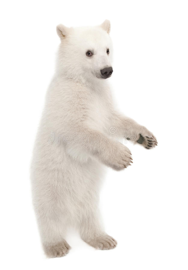 Filhote de urso polar, maritimus do Ursus, 6 meses velho imagem de stock