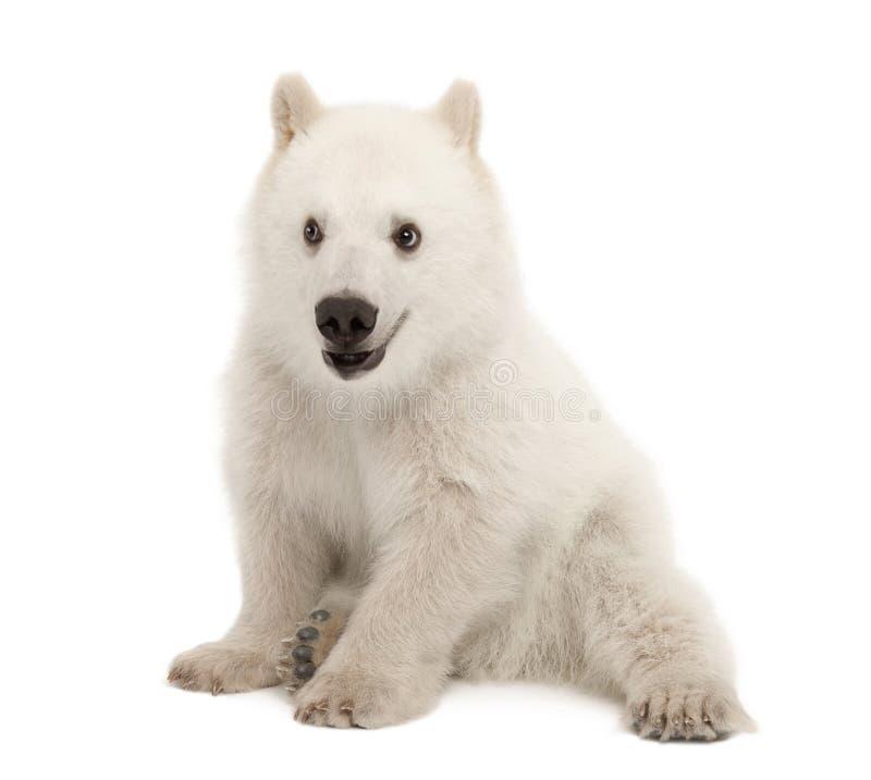 Filhote de urso polar, maritimus do Ursus, 6 meses velho fotografia de stock