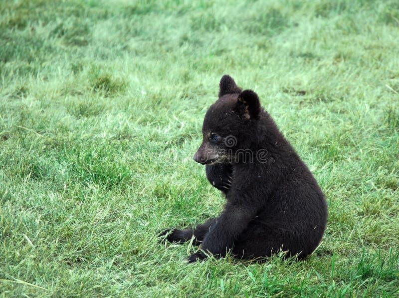 Filhote de urso preto foto de stock