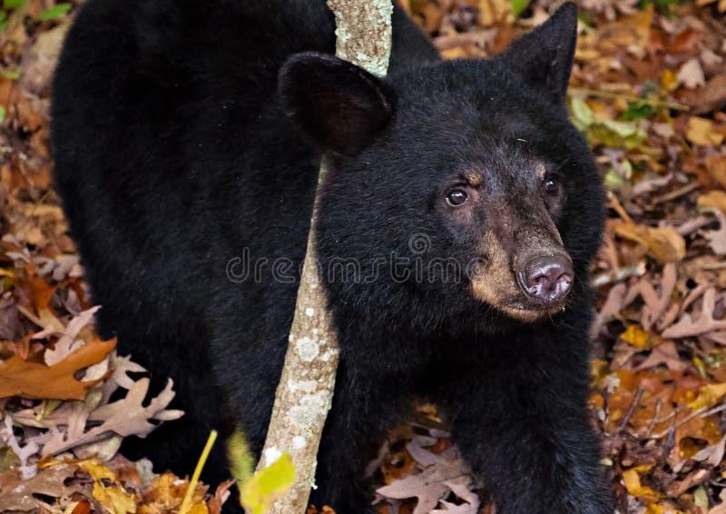 Filhote de urso preto americano, visto ao longo da movimentação da skyline em Shenandoah fotografia de stock royalty free