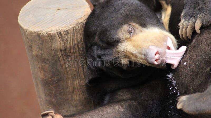 Filhote de urso preto no jardim zoológico fotografia de stock