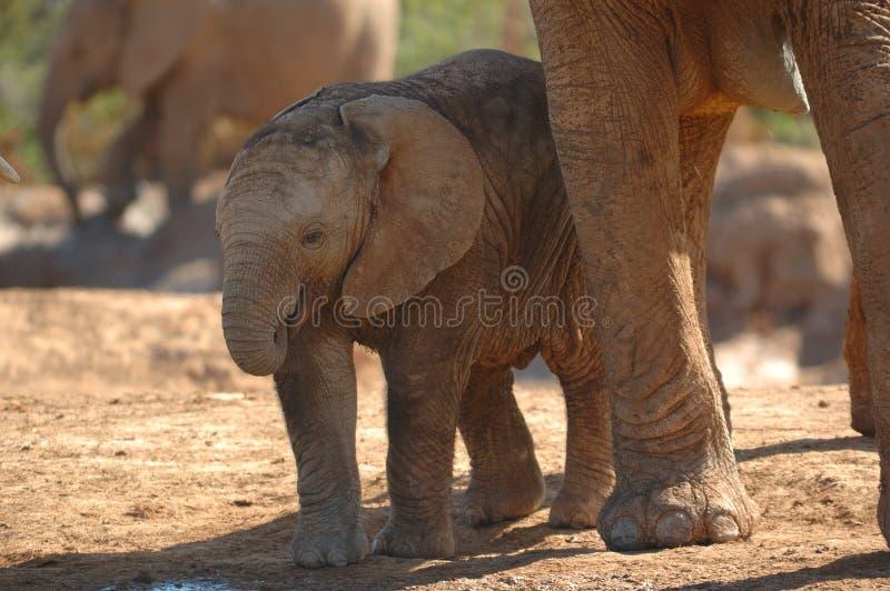 Filhote do elefante africano fotografia de stock royalty free