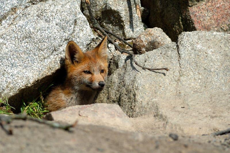 Filhote do Fox vermelho foto de stock royalty free