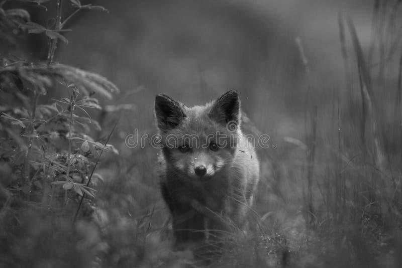 Filhote do Fox vermelho na grama, Noruega fotografia de stock