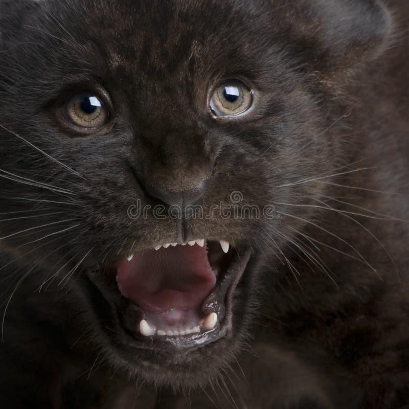 Filhote do jaguar (2 meses) - onca do Panthera fotografia de stock