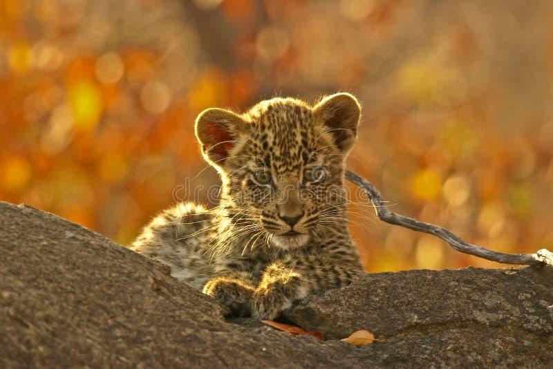 Filhote do leopardo em uma filial imagens de stock royalty free
