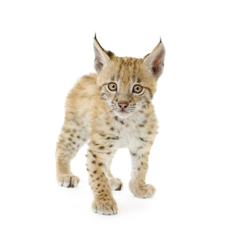 Filhote do lince (2 mounths) foto de stock royalty free