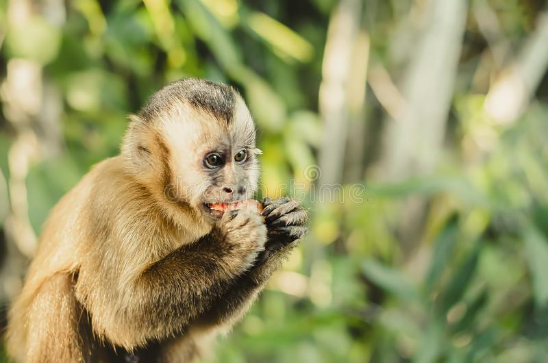 Filhote do macaco que come uma maçã imagem de stock royalty free