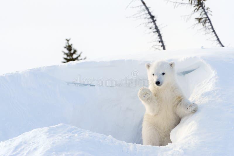 Filhote do urso polar (maritimus do Ursus) que vem para fora antro fotografia de stock