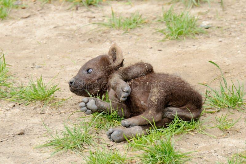 Filhote manchado do hyena imagem de stock