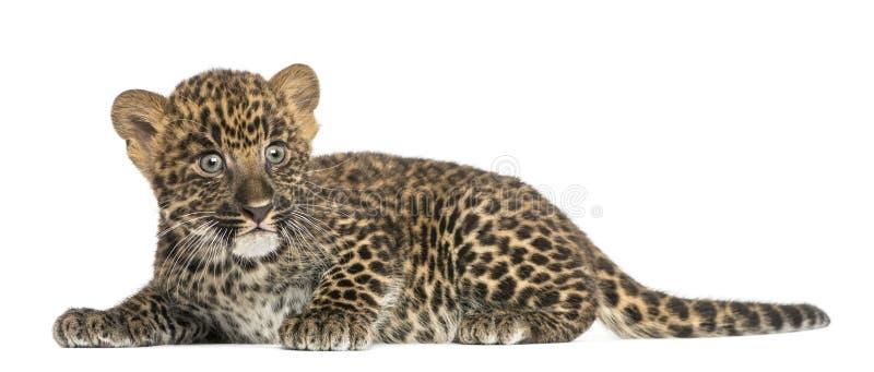 Filhote manchado do leopardo que encontra-se para baixo - pardus do Panthera, 7 semanas velho imagem de stock royalty free