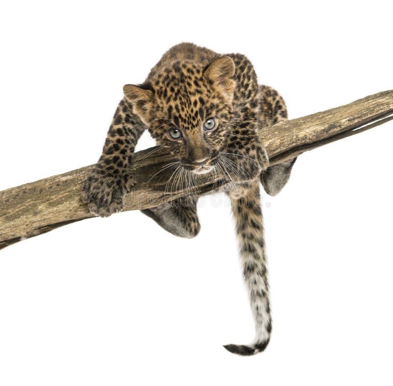 Filhote manchado do leopardo que enfrenta e que espreita em um ramo, 7 semanas velho foto de stock