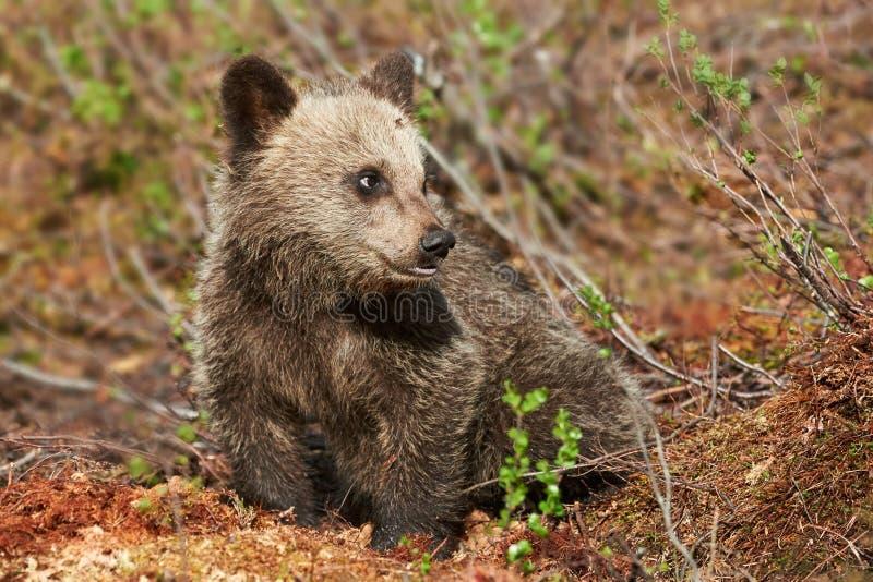 Filhote pequeno do urso marrom imagens de stock royalty free