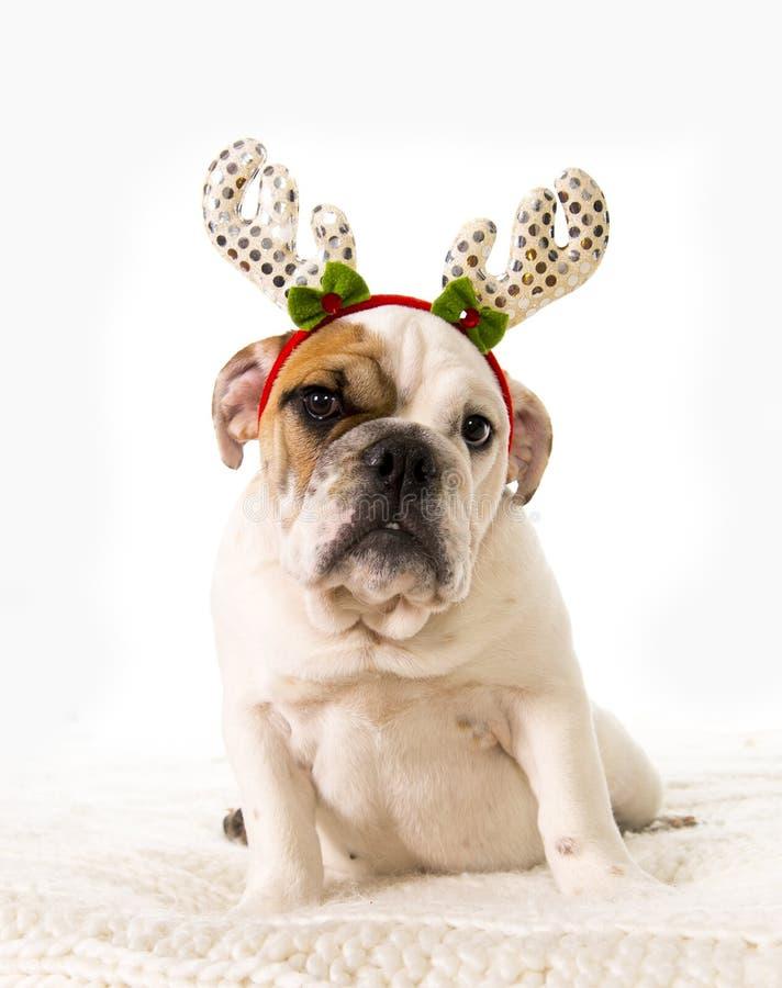 Filhote pequeno novo do buldogue francês que encontra-se na cama em casa com o chapéu dos chifres da rena do Natal foto de stock royalty free