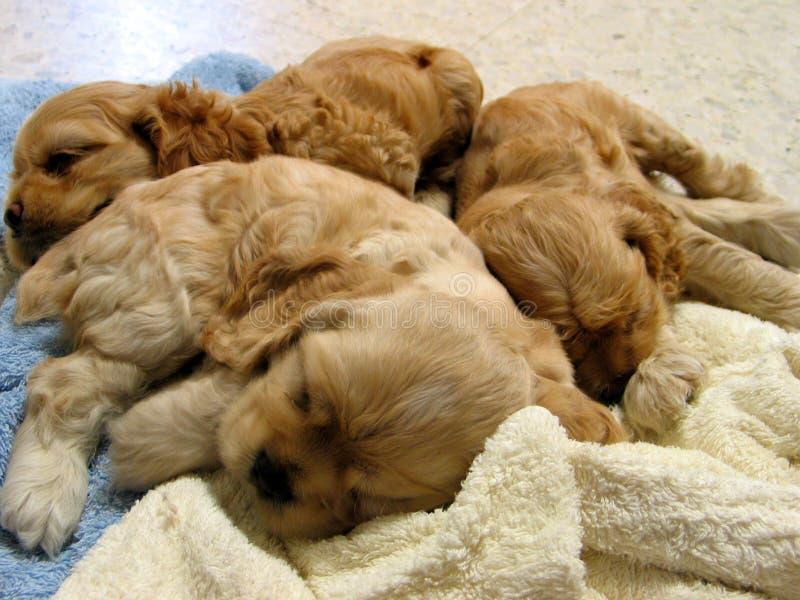 Download Filhotes de cachorro foto de stock. Imagem de pedigree - 102394
