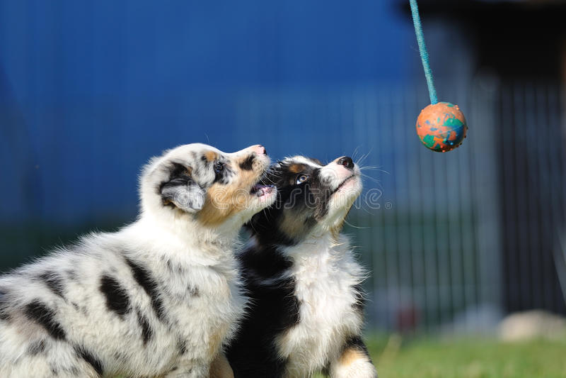 Filhotes de cachorro australianos do pastor australiano no jogo imagem de stock