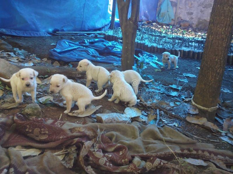Filhotes de cachorro brancos imagens de stock