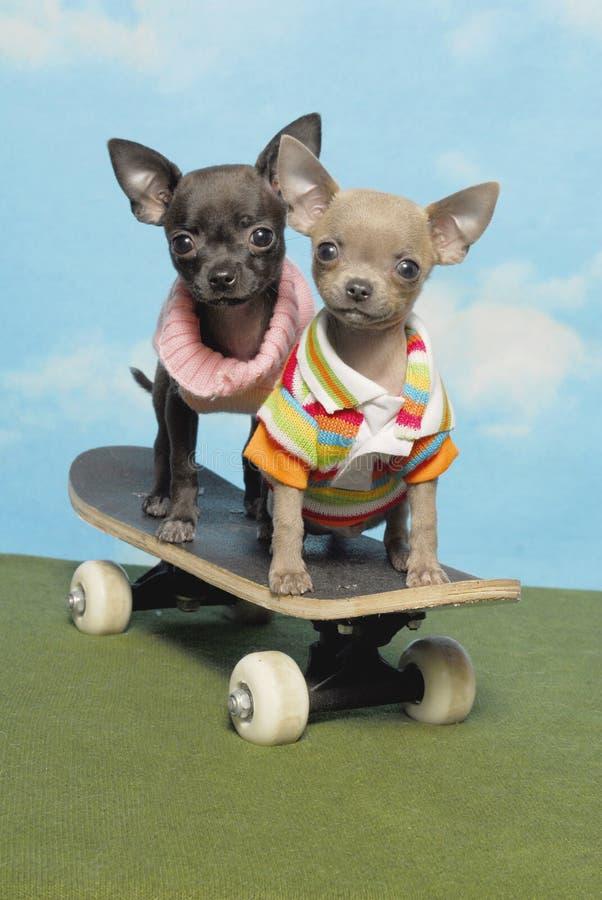 Filhotes de cachorro da chihuahua em uma placa do patim foto de stock royalty free