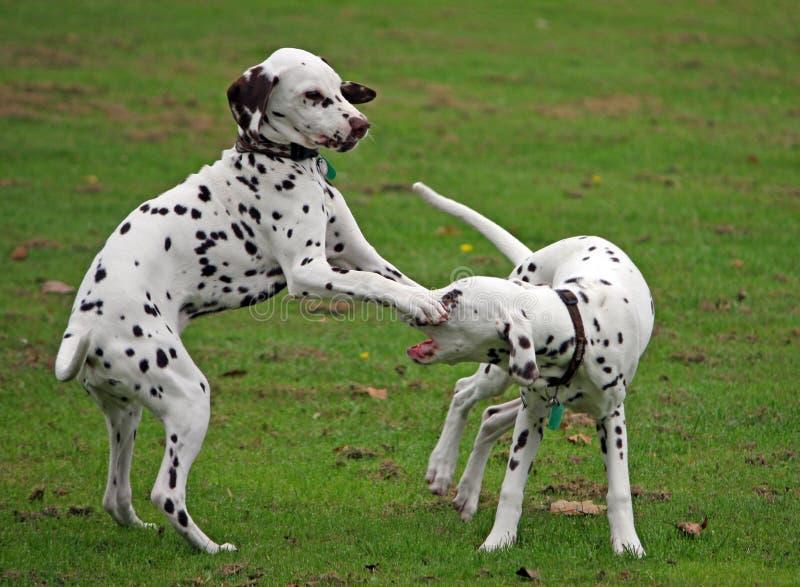Filhotes de cachorro Dalmatian imagem de stock