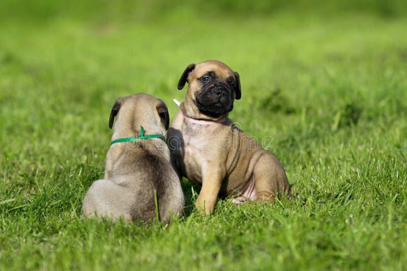 Filhotes de cachorro de Bullmastiff imagem de stock royalty free
