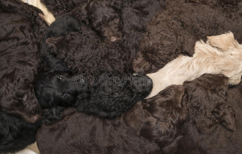 Filhotes de cachorro de Labradoodle como um fundo imagem de stock royalty free