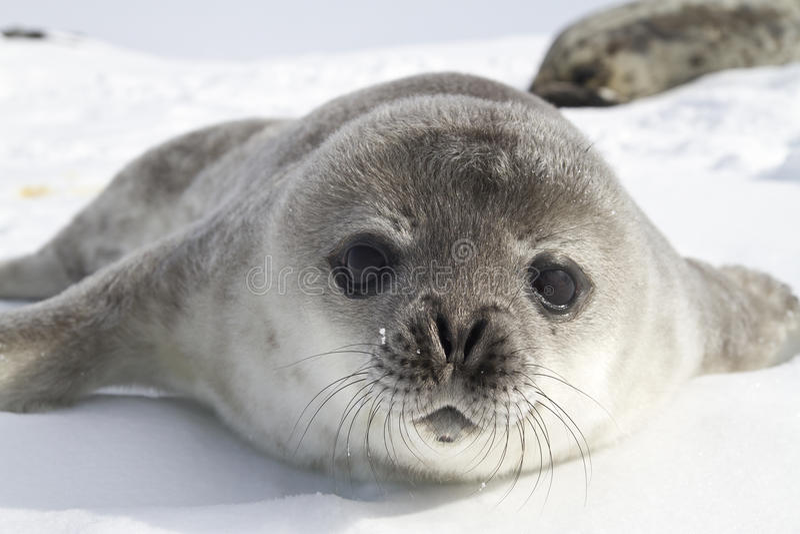 Filhotes de cachorro de selo de Weddell no gelo do Antarctic fotografia de stock royalty free